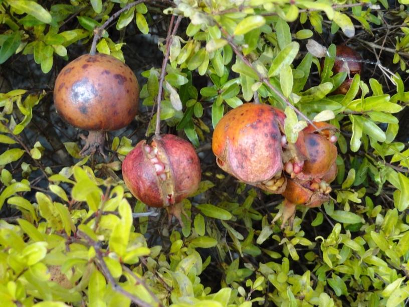bellagio-pomegranates