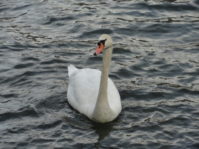 ...this was another fellow (lady?) who said hello. I find it hard to tell the gender of swans, and it seems rude to ask.