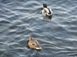 two duck...