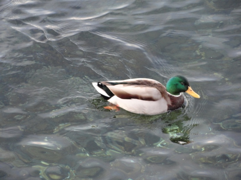One duck...